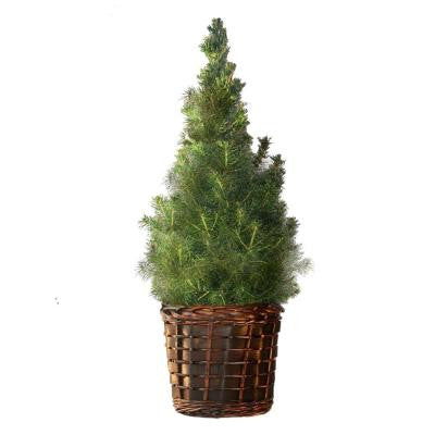 2 gal. Dwarf Alberta Spruce in Large Welcome Basket