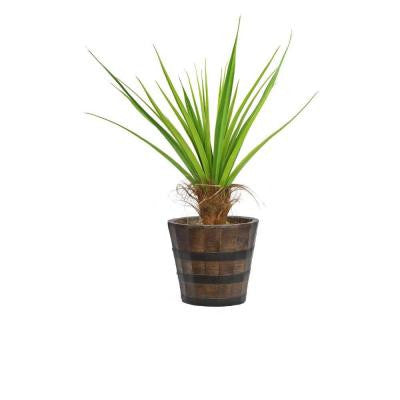 52 in. Tall Agave Tree with Cocoa Skin in Planter