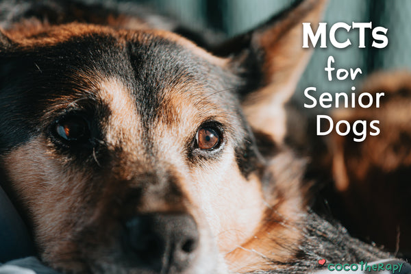 Is Your Senior Dog Showing Signs of Cognitive Decline? How Medium-Chain Triglycerides Help.