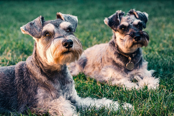 Does Coconut Oil Cause Metabolic Endotoxemia in Dogs?