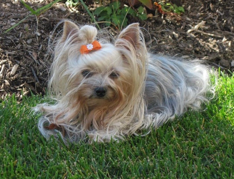 Yorkie dog laying in grass