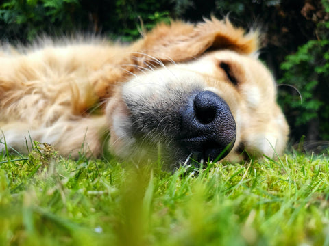 Golden Retriever laying in the grass CocoTherapy