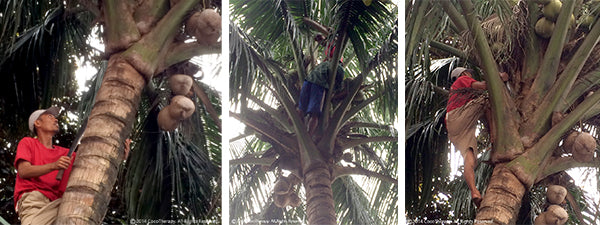 CocoTherapy Coconut Harvest