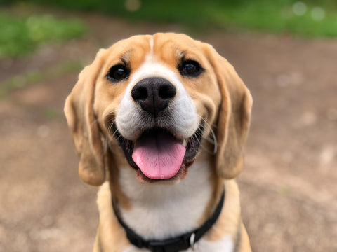 Smiling dog Cocotherapy December 2020 blog