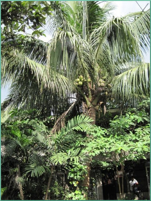 Coconut trees grow everywhere in the Philippines. This beautiful coconut tree is growing right outside the CocoTherapy office.