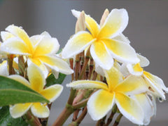 Yellow & White Plumerias