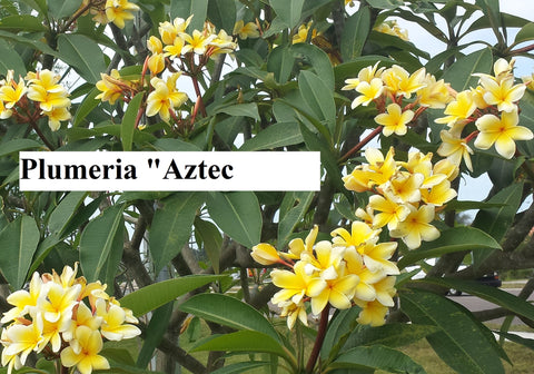 Aztec Gold - Peachy fragrance!