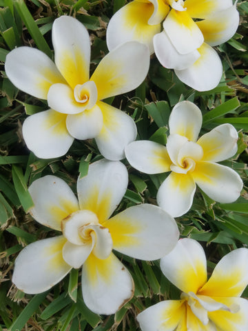 Bali Whirl - RARE AND EXOTIC PLUMERIA