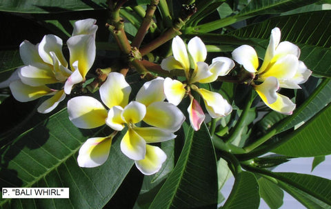 Bali Whirl - The only eight petal plumeria in the world. Very unusual.