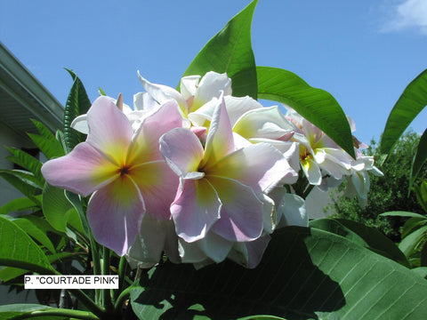 Courtade Pink - Huge flower! Sweet Scent!