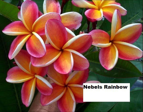 Nebel's Rainbow- Cuttings available ONLY 9/16/20