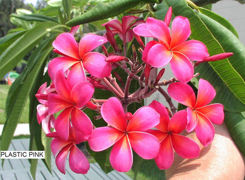 Plastic Pink - A Fluorescent Pink Plumeria! CURRENTLY OUT OF STOCK