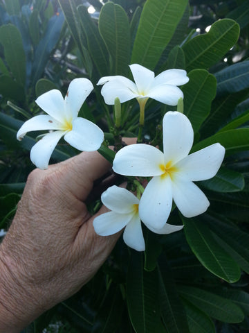 Singapore White - Dwarf Plumeria - Great for Containers