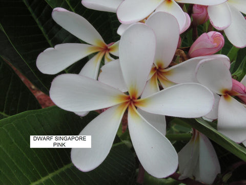 Singapore Pink - Dwarf Plumeria- Great for Containers
