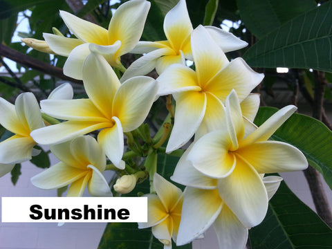 Sunshine - Buyplumerias.com Exclusive