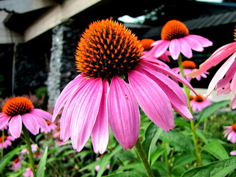 Coneflower Reading