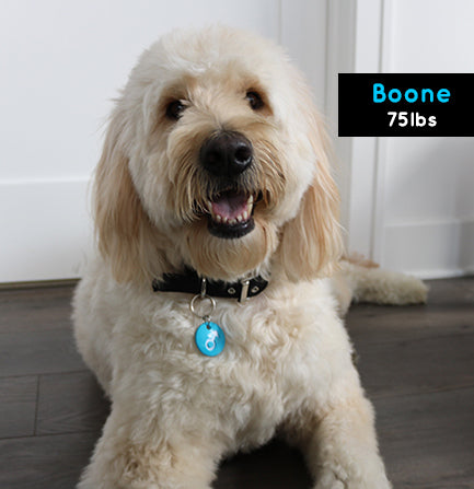 Boone the Goldendoodle