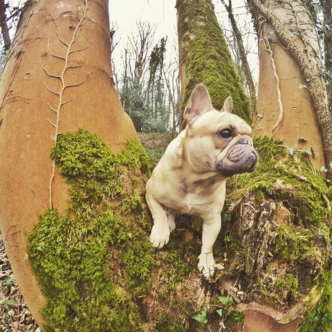 Capturing Cute French Bulldog with your GoPro