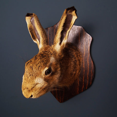 Mounted Hare's Head - Smith & Stocking  - 1
