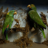 Victorian Parrot Taxidermy Study - Smith & Stocking  - 1