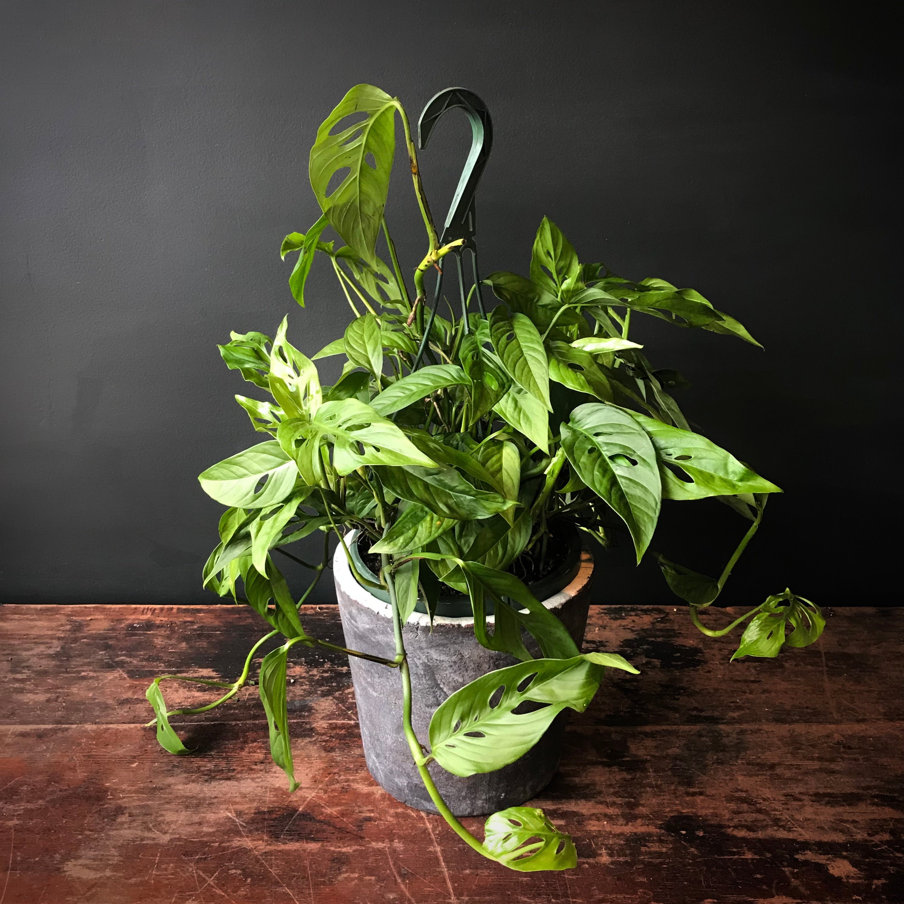 Philodendron \'swiss Cheese Plant\'