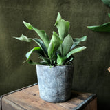 "6"" Potted Staghorn Fern"
