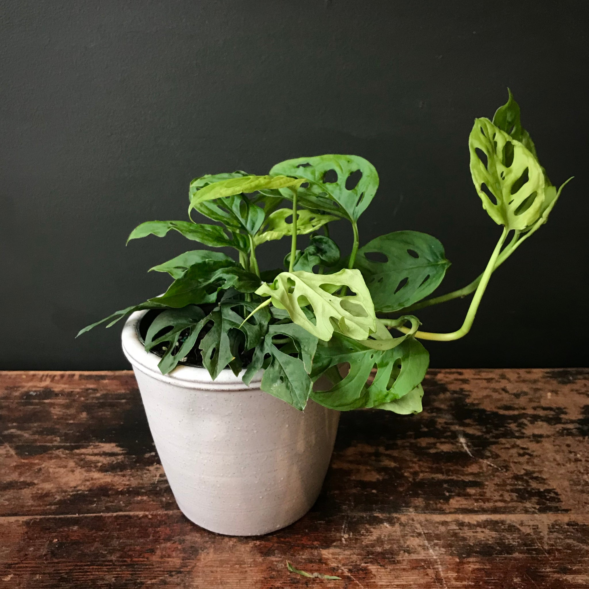 Philodendron Swiss Cheese Plant Terra Bella Flowers