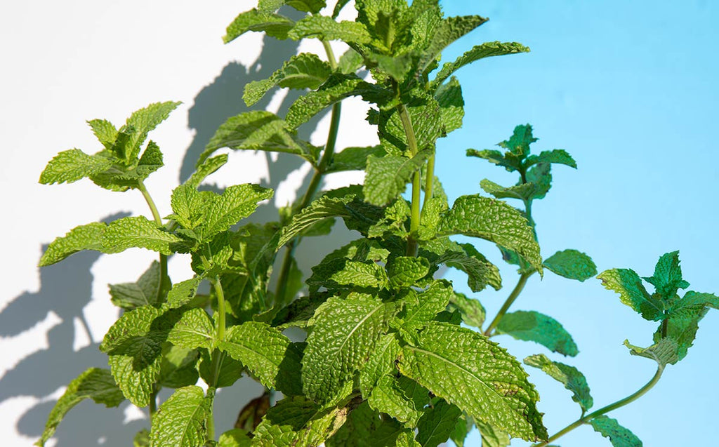 The Many Uses of Peppermint Oil – Digestion