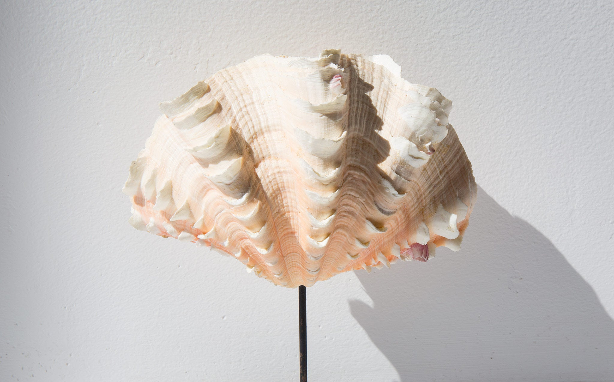 Mounted Fluted Clam Shell