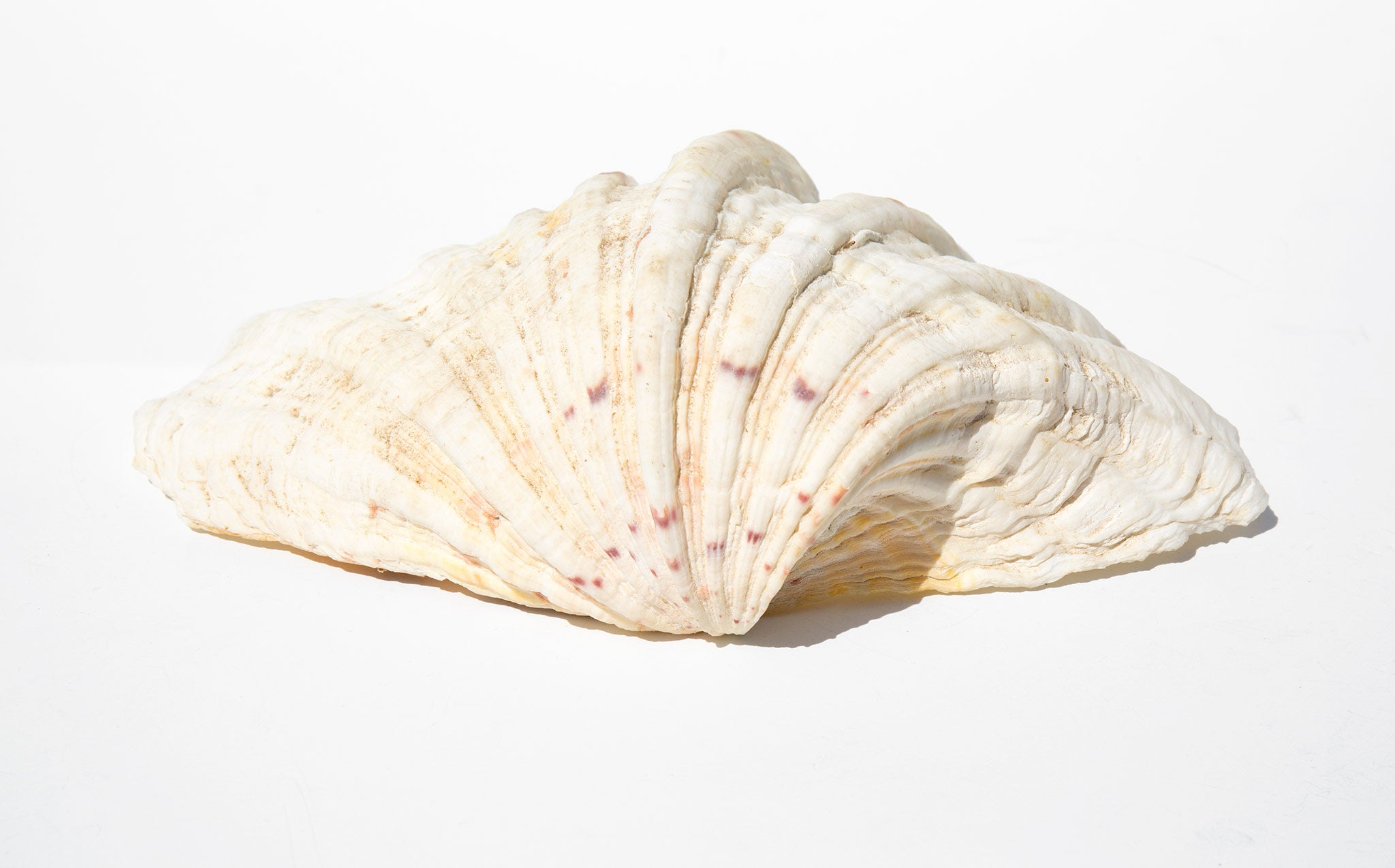Dappled Clam Shell