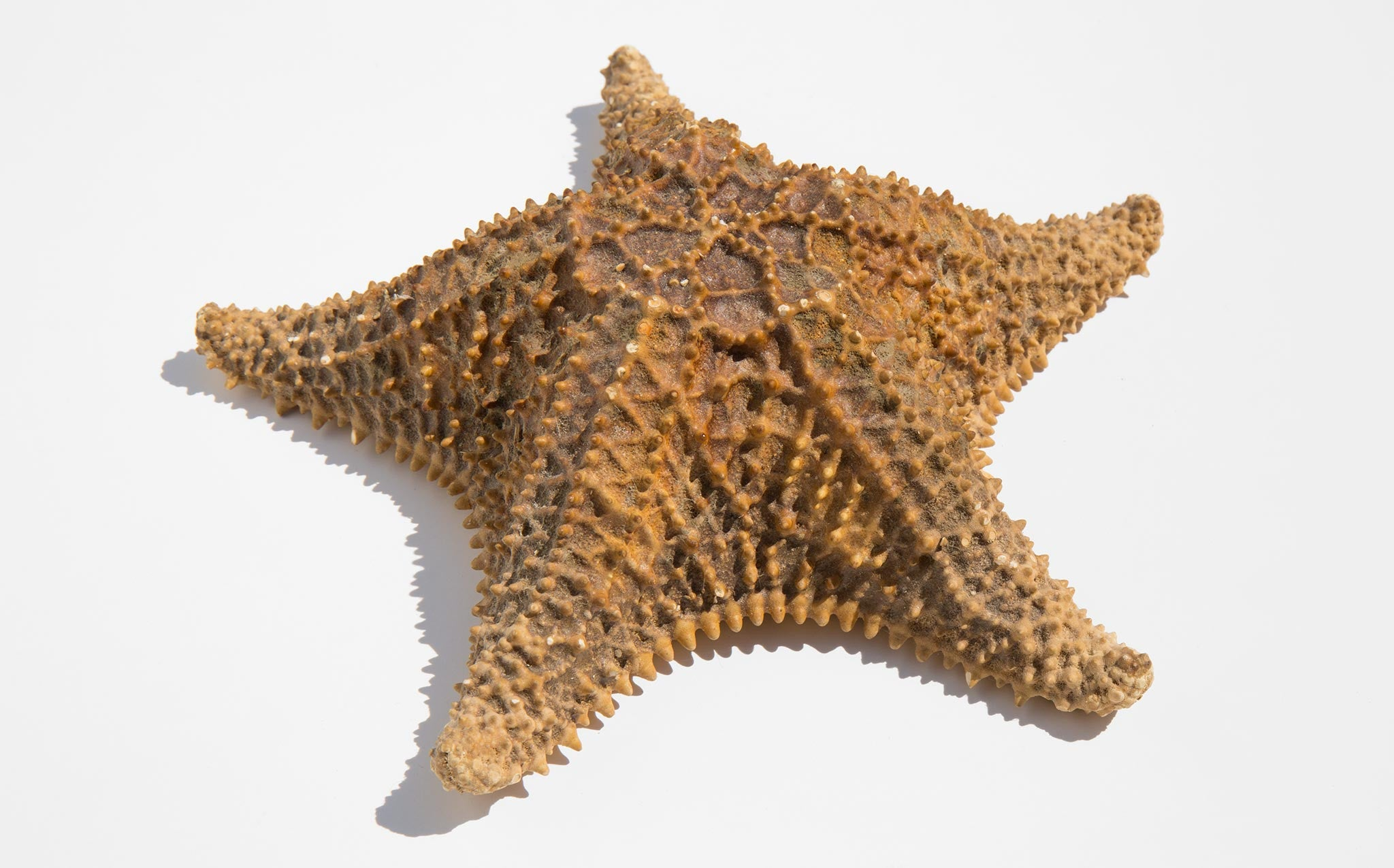 Natural Sea Star