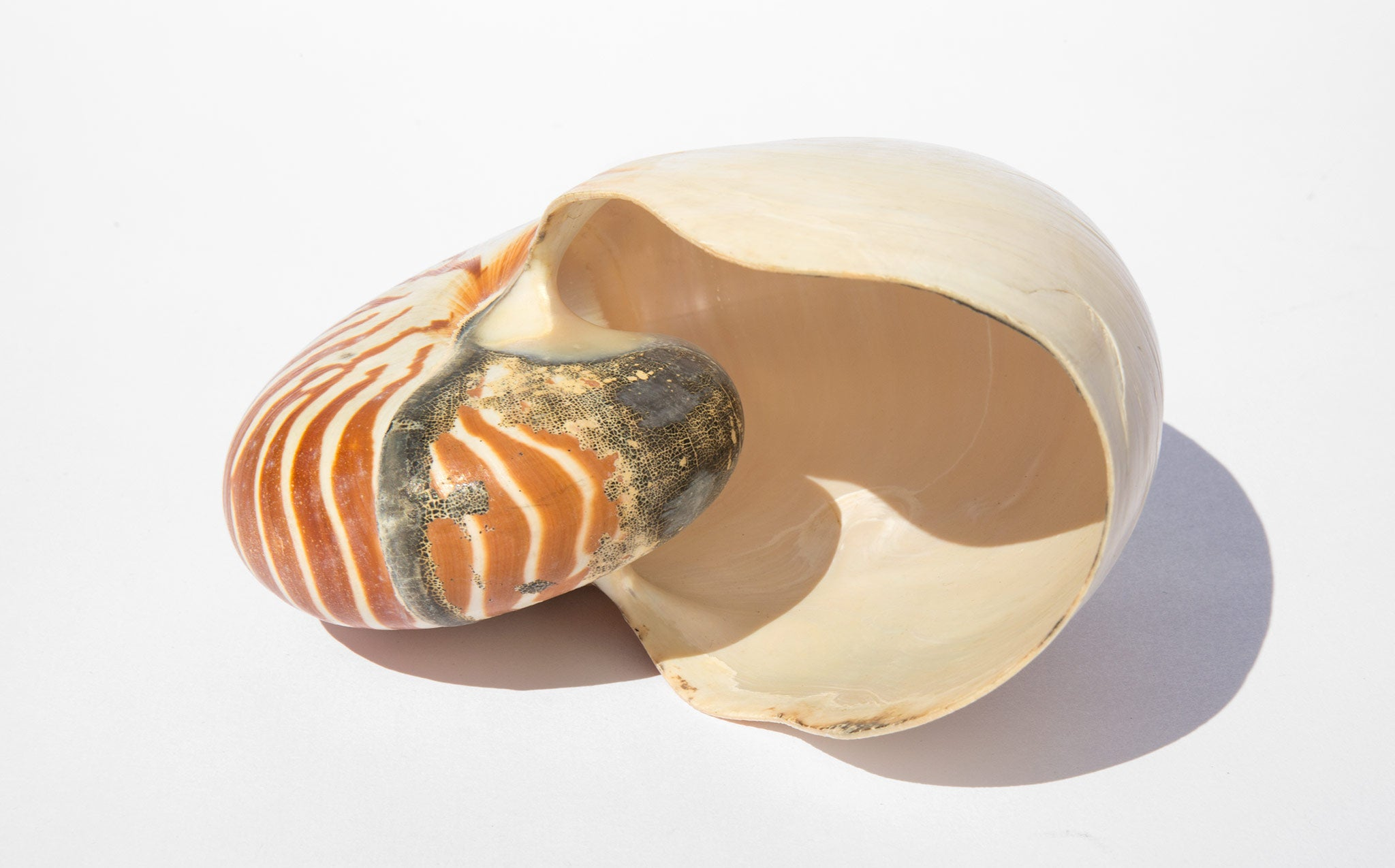 Natural Tiger Striped Nautilus Shell
