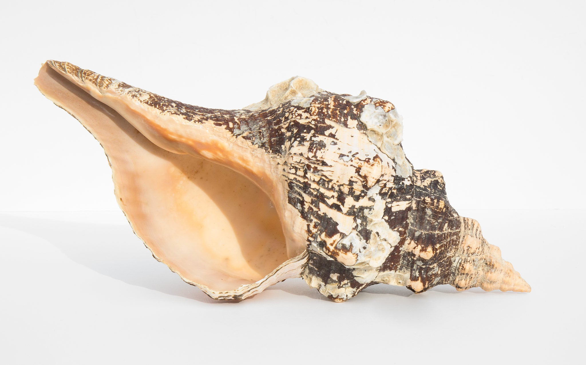 Horse Conch Shell
