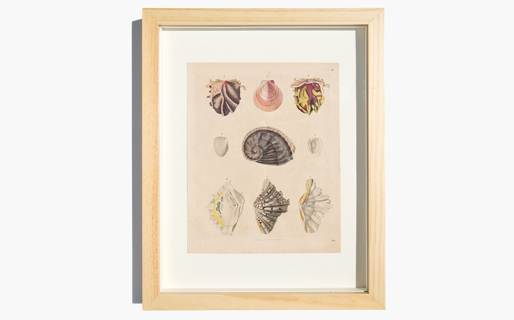 Antique Hand Colored Shell Lithograph