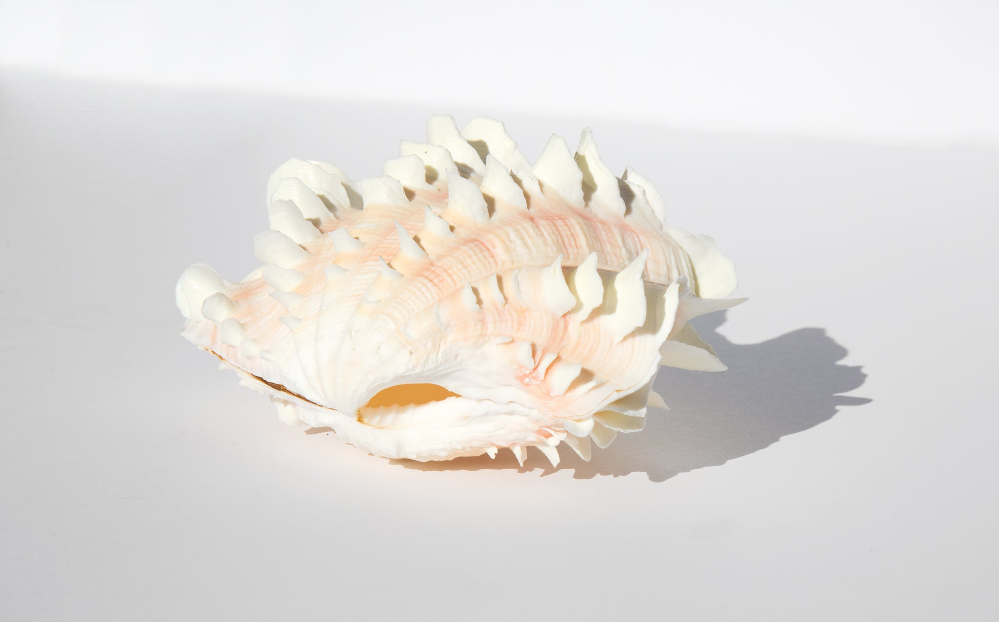Blush Fluted Clam Shell