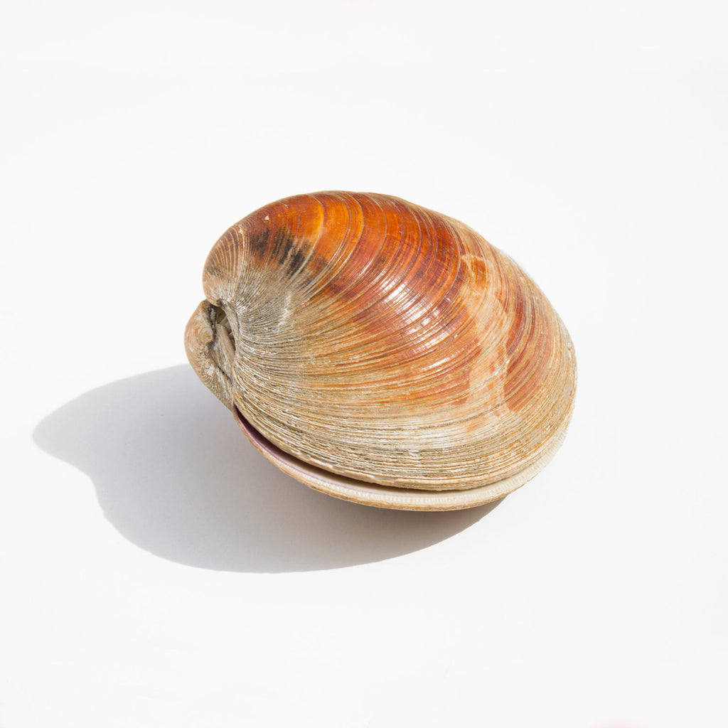 Clam Shell Specimen