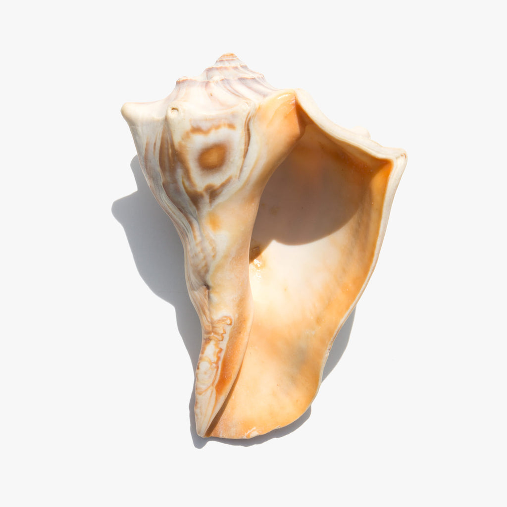 Knobbed Whelk Shell