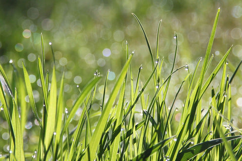What is Sweet Grass Essential Oil?