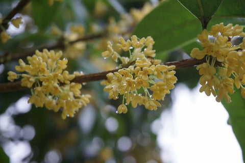 Osmanthus flowers in rain
