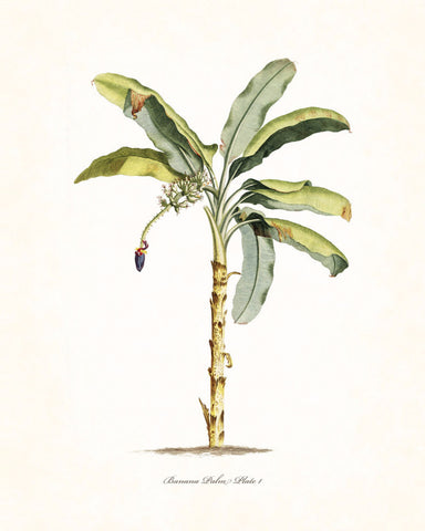 Vintage Tropical Banana Palm No.1 - Botanical Print
