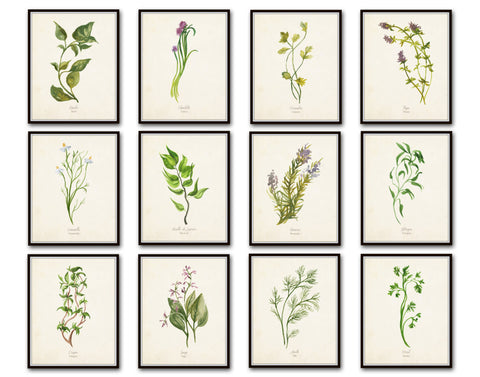 Watercolor Herbs Botanical Print Set No.5 - 12 Herb Prints