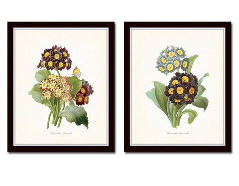 Antique Primrose Botanical Print Set No.5