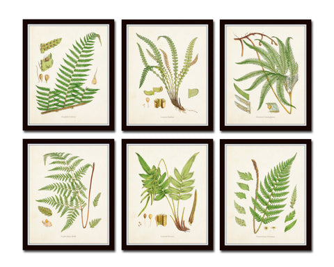 British Ferns Print Set No. 25