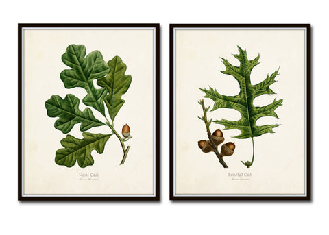 Oak Leaf Botanical Print Set No. 5