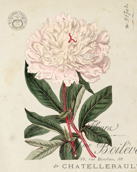 Vintage French Peony No.2 Botanical Print