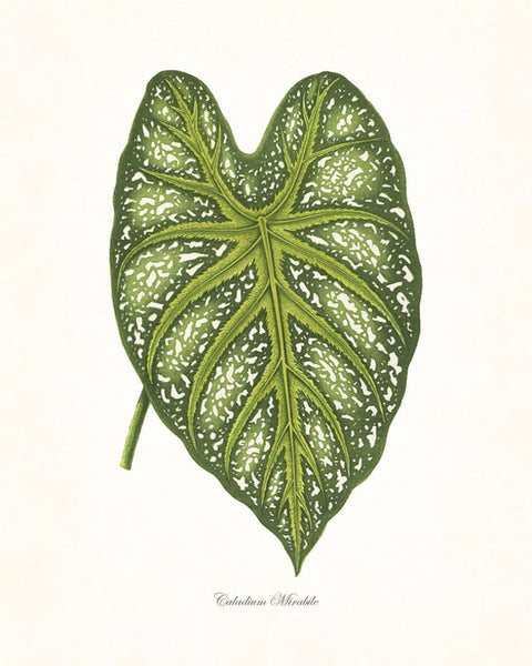 Vintage Botanical Tropical Leaf Series No. 6