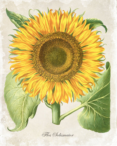 Antique Sunflower Botanical Art Print