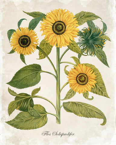 Antique Sunflower Trio Botanical Art Print