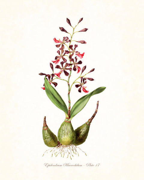 Vintage Orchid Flower Series No.17- Botanical Print