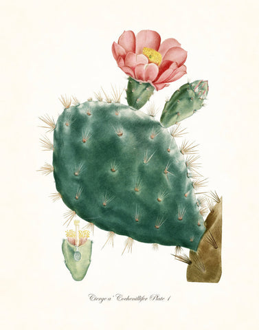 French Cactus Series No.1 - Botanical Art Print